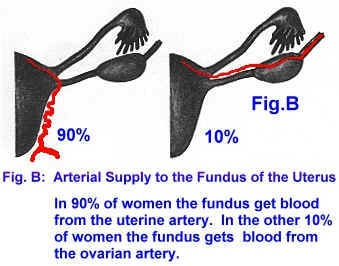 Ovarian Blood Supply
